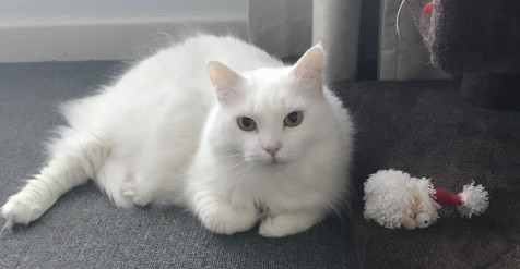 Fluffy white cat lying down