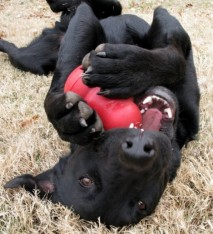 Black dog with red kong chew toy