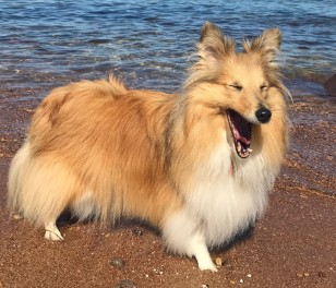 Happy dog at beach