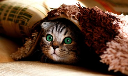 Cute cat, green eyes, hiding under blanket